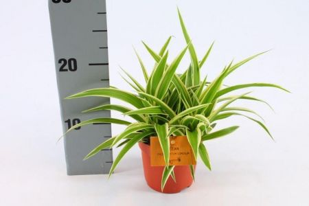 Chlorophytum com. Ocean Houseplant. Unusual Spider Plant in a 10.5cm Pot
