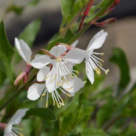 Gaura lindheimeri Flamingo White Plant in a 17cm Pot. Whirling Butterflies