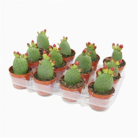 Prickly Pear cactus plant in a 8.5cm pot x 1 Opuntia Inamoena
