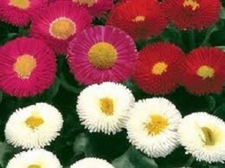 Bellis plants in mixed colours in 9cm pots x 3.  Hardy English daisy