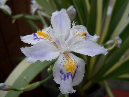 Iris Tectorum Cruella plant in a 17cm pot.