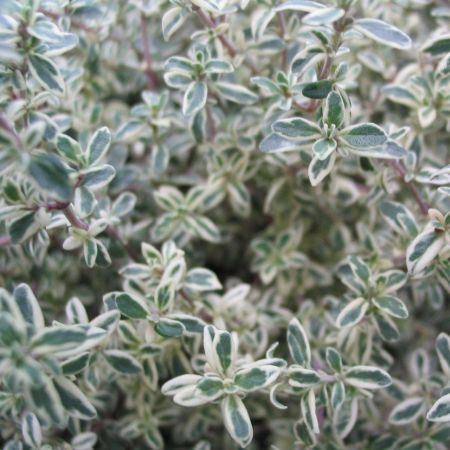 Silver Leaved Thyme plant in 11cm pot.  Silver foliage