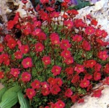 Saxifrage arendsii Red in a 13cm pot. Ground cover alpine