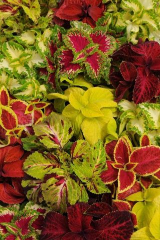 Coleus Wizard Bedding Plants 6 pack. DISCOUNTS for multiple purchases