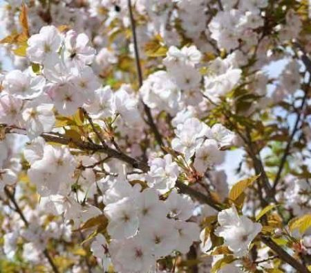 Prunus Sunset Boulevard japanese flowering cherry tree in a 12L container