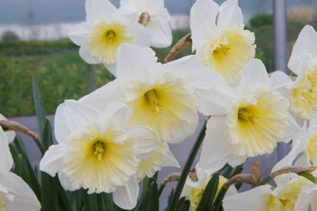 Narcissus Ice Follies Plants in a 13cm pot.