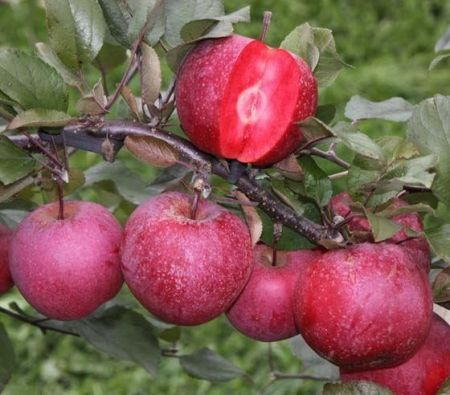 Apple (Malus) TICKLED PINK Baya Marisa tree in a 12L Pot - Espalier - Rootstock MM106
