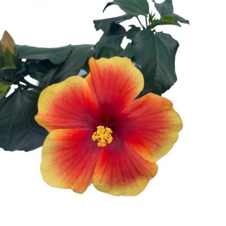 Hibiscus rosa-sinensis Red Fire Exotic Plant in a 13cm Terracotta Pot