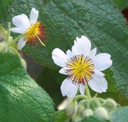 Sparmannia africana Plant in a 15cm Pot  African Hemp