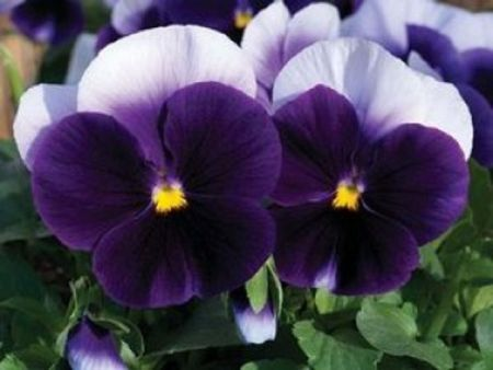 Pansy Panola Beaconsfield bedding plants. 6 pack garden ready for autumn and winter colour