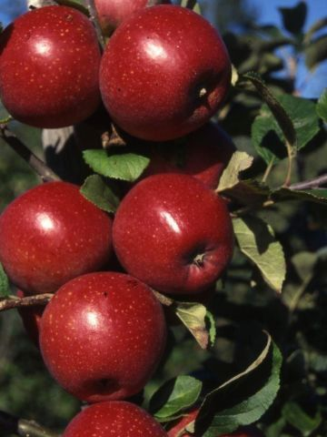Apple (Malus) Red Windsor tree in a 12 Litre pot - Bush form - Rootstock MM106