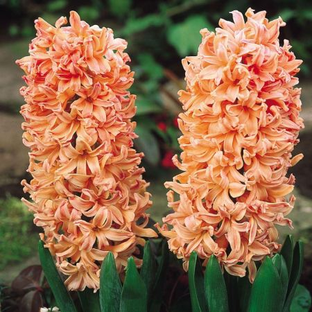 Orange Hyacinth Growing in a 9cm. 3 x pots. Indoor colour and scent