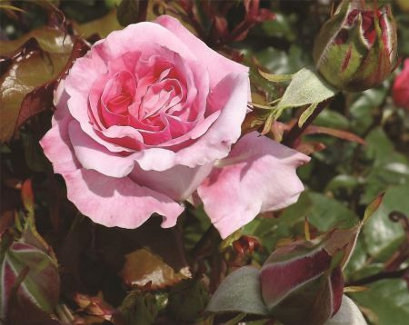 Special Occasion Rose Thank You in a 4.5 litre Pot