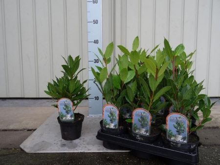 Bay Tree or Bay Laurel Laurus nobilis plant in a 10.5cm pot.