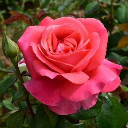 Special Occasion Rose Special Anniversary in a 3.5 litre Pot