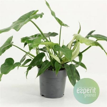 Philodendron Rainforest House Plant in a 17cm Pot