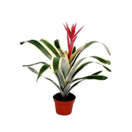 Aechmea Brasil bromeliad house plant with variegated leaves in 15cm pot