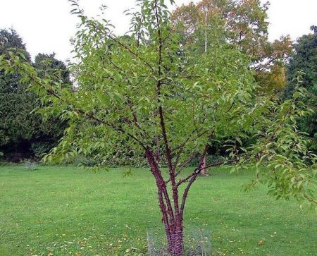 Prunus rufa himilayan cherry tree in a 12L container