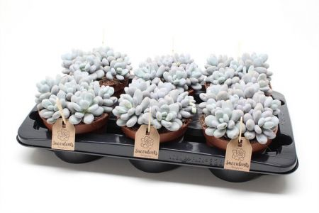 Pachyphytum Oviferum Succulent Plant in a 15cm Pot x 1 Rarely offered