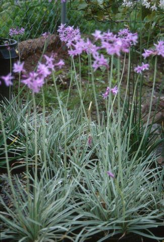 Tulbaghia Silver Lace hardy deciduous fern in 17cm pot