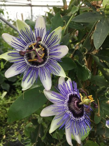 Passiflora caerulea Duuk climber in a 15cm pot  Passion flower.