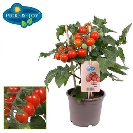 Cherry Tomato Plant in a 12cm Pot with fruits on