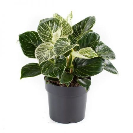 Philodendron White Measure house plant in 17cm pot