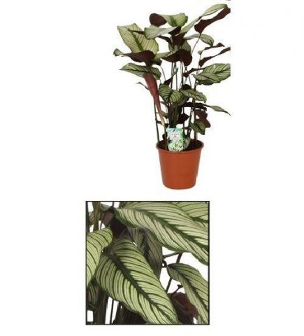 Calathea Whitestar house plant. Striking Leaves. 75cm tall