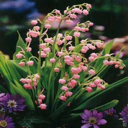 Pink Lily of the Valley (Convallaria Majalis Rosea) Pips x 2
