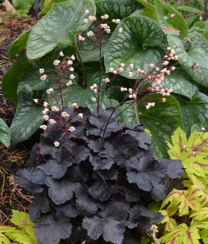 Heuchera Little Cuties™ Coco perennial groundcover plant in 13cm pot.