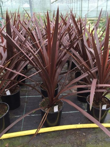 Cordyline australis Red Star shrub in 17cm pot. Cabbage palm