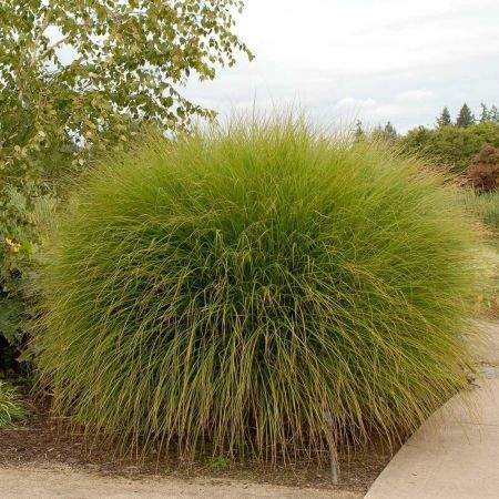 Miscanthus sinensis Gracillimus Hardy ornamental grass in a 23cm pot