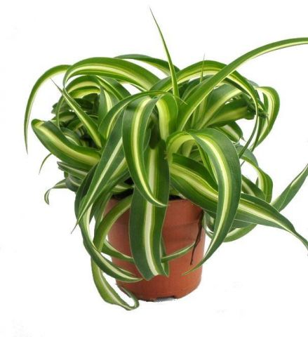 Chlorophytum Bonnie House Plant in a 10.5cm Pot.  Curly Spider Plant