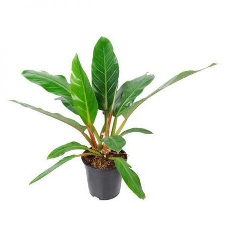 Philodendron martianum Fatboy Yellow house plant in 19cm pot