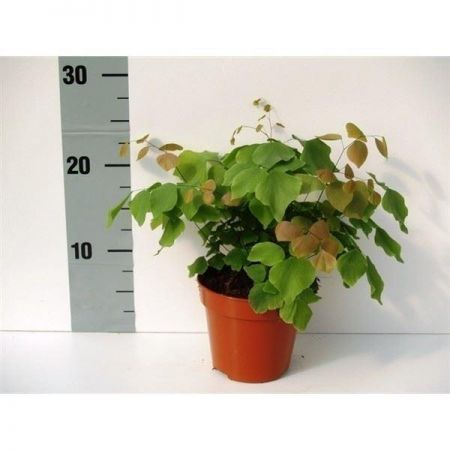 Adiantum peruvianum. Silver Dollar maidenhair fern. House plant in 12cm pot
