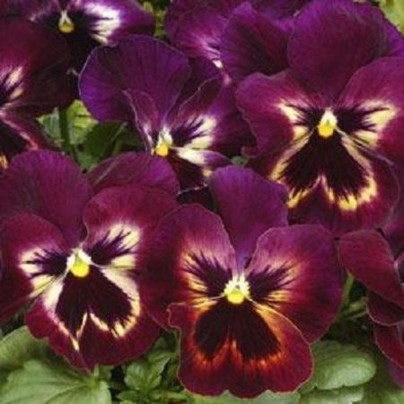 Pansy Sangria Bedding Plant 6 Pack Garden Ready Plants.