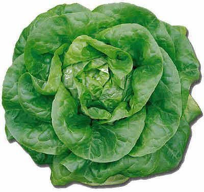 Lettuce Round (Butterhead) Plant 6 Pack Garden Ready plants. Grow your own