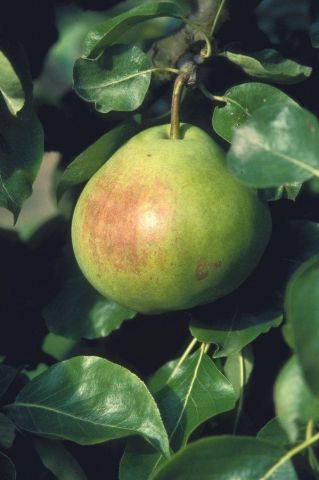 Pear (Pyrus) Catillac tree in a 12 Litre pot - Bush form - Rootstock Quince A