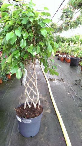 Ficus Exotica with Lattice Stem.  Weeping Fig. 100cm tall.
