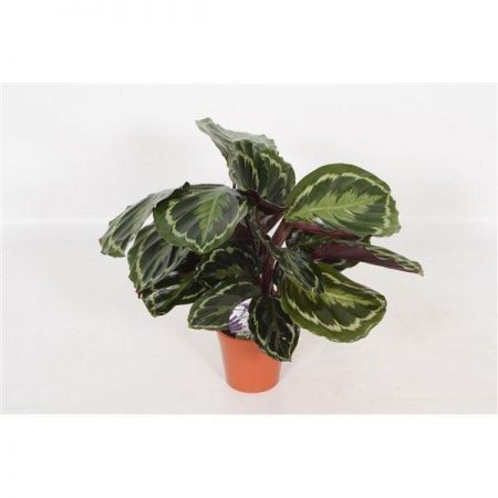 Calathea Medallion House Plant in a 12cm Pot.