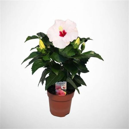 Hibiscus rosa-sinensis Adonicus PEARL Exotic House Plant in a 13cm Pot