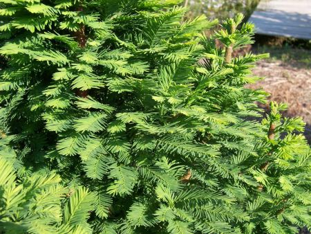 Taxodium distichum Nutans (Nodding pond cypress) in a 12 Litre Pot
