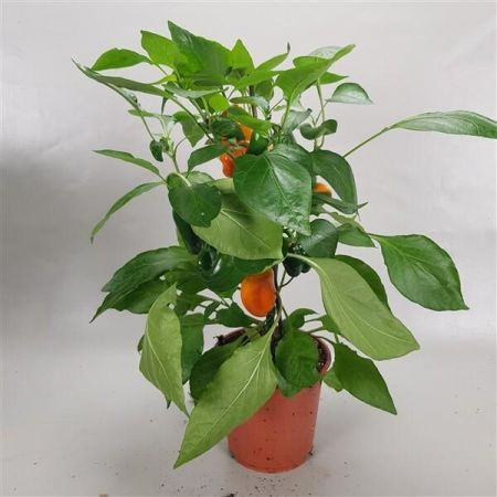 Paprika ORANGE Pepper Plant in a 14cm pot with fruits on