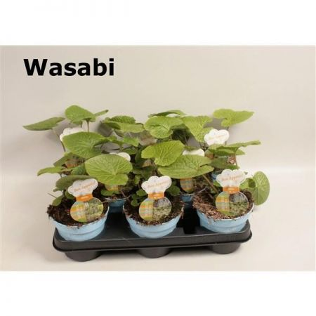 Wasabi Herb Plant in a 12cm Pot x 1