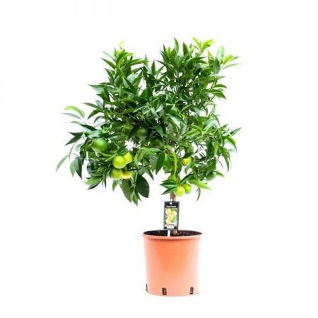 Citrus Clementine tree house plant around 85cm tall in 22cm pot