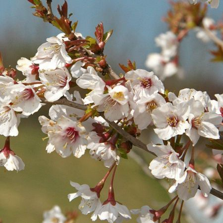 Prunus incisa 'Kojo-No-mai' dwarf cherry tree in an 11.5 Litre pot (pruned at 45cm)