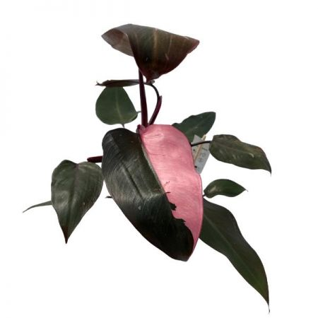Philodendron Pink Princess houseplant in a 15cm pot Very Rare