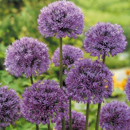 Allium Aflatunense Plant in a 11cm Pot x 3