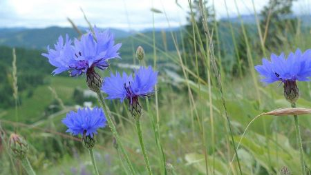 Wildflower Cornflower Seeds - 5g packet
