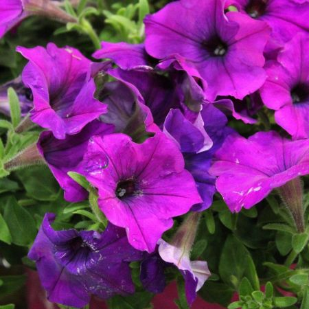 Petunia VIOLET Bedding Plant 6 Pack Garden Ready Plants